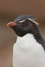 "Rockhopper penguin portrait, showing the yellowish plume feathers that extend behind its red eye in adults.  The western rockhopper penguin stands about 23"" high and weights up to 7.5 lb, with a lifespan of 20-30 years. New Island, Falkland Islands, United Kingdom. Image #23728"