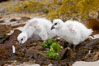 Kelp goose chicks eating kelp (seaweed).  The kelp goose is noted for eating only seaweed, primarily of the genus ulva.  It inhabits rocky coastline habitats where it forages for kelp. New Island, Falkland Islands, United Kingdom. Image #23754