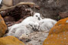 Kelp goose chicks, nestled on sand between rocks.  The kelp goose is noted for eating only seaweed, primarily of the genus ulva.  It inhabits rocky coastline habitats where it forages for kelp. New Island, Falkland Islands, United Kingdom. Image #23759