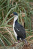 "Imperial shag or blue-eyed shag, in tussock grass.  The Imperial Shag is about 30"" long and 4-8 lbs, with males averaging larger than females.  It can dive as deep as 80' while foraging for small benthic fish, crustaceans, polychaetes, gastropods and octopuses. New Island, Falkland Islands, United Kingdom. Image #23761"