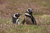 "Magellanic penguins, in grasslands at the opening of their underground burrow.  Magellanic penguins can grow to 30"" tall, 14 lbs and live over 25 years.  They feed in the water, preying on cuttlefish, sardines, squid, krill, and other crustaceans. New Island, Falkland Islands, United Kingdom. Image #23774"