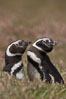 "Magellanic penguins, in grasslands at the opening of their underground burrow.  Magellanic penguins can grow to 30"" tall, 14 lbs and live over 25 years.  They feed in the water, preying on cuttlefish, sardines, squid, krill, and other crustaceans. New Island, Falkland Islands, United Kingdom. Image #23776"