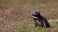 "Magellanic penguin, in grasslands at the opening of their underground burrow.  Magellanic penguins can grow to 30"" tall, 14 lbs and live over 25 years.  They feed in the water, preying on cuttlefish, sardines, squid, krill, and other crustaceans. New Island, Falkland Islands, United Kingdom. Image #23777"