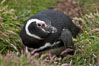 "Magellanic penguin, adult and chick, in grasslands at the opening of their underground burrow.  Magellanic penguins can grow to 30"" tall, 14 lbs and live over 25 years.  They feed in the water, preying on cuttlefish, sardines, squid, krill, and other crustaceans. New Island, Falkland Islands, United Kingdom. Image #23778"