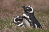 "Magellanic penguins, in grasslands at the opening of their underground burrow.  Magellanic penguins can grow to 30"" tall, 14 lbs and live over 25 years.  They feed in the water, preying on cuttlefish, sardines, squid, krill, and other crustaceans. New Island, Falkland Islands, United Kingdom. Image #23779"