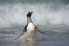 "Gentoo penguin coming ashore, after foraging at sea, walking through ocean water as it wades onto a sand beach.  Adult gentoo penguins grow to be 30"" and 19lb in size.  They feed on fish and crustaceans.  Gentoo penguins reside in colonies well inland from the ocean, often formed of a circular collection of stones gathered by the penguins. New Island, Falkland Islands, United Kingdom. Image #23830"