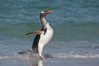 "Gentoo penguin coming ashore, after foraging at sea, walking through ocean water as it wades onto a sand beach.  Adult gentoo penguins grow to be 30"" and 19lb in size.  They feed on fish and crustaceans.  Gentoo penguins reside in colonies well inland from the ocean, often formed of a circular collection of stones gathered by the penguins. New Island, Falkland Islands, United Kingdom. Image #23832"