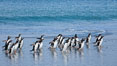 "Gentoo penguins coming ashore, after foraging at sea, walking through ocean water as it wades onto a sand beach.  Adult gentoo penguins grow to be 30"" and 19lb in size.  They feed on fish and crustaceans.  Gentoo penguins reside in colonies well inland from the ocean, often formed of a circular collection of stones gathered by the penguins. New Island, Falkland Islands, United Kingdom. Image #23833"
