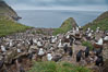 Colony of nesting black-browed albatross, rockhopper penguins and Imperial shags, set high above the ocean on tussock grass-covered seacliffs. Westpoint Island, Falkland Islands, United Kingdom. Image #23951