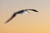 "Black-browed albatross in flight, at sea.  The black-browed albatross is a medium-sized seabird at 31-37"" long with a 79-94"" wingspan and an average weight of 6.4-10 lb. They have a natural lifespan exceeding 70 years. They breed on remote oceanic islands and are circumpolar, ranging throughout the Southern Oceanic. Falkland Islands, United Kingdom. Image #23965"