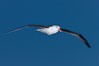 "Black-browed albatross in flight, at sea.  The black-browed albatross is a medium-sized seabird at 31-37"" long with a 79-94"" wingspan and an average weight of 6.4-10 lb. They have a natural lifespan exceeding 70 years. They breed on remote oceanic islands and are circumpolar, ranging throughout the Southern Oceanic. Falkland Islands, United Kingdom. Image #23978"