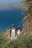 Magellanic penguins walk through tussock grass, on their way to their burrows after foraging at sea all day. Carcass Island, Falkland Islands, United Kingdom. Image #24000