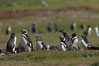Magellanic penguins, at their burrow in short grass, in the interior of Carcass Island. Carcass Island, Falkland Islands, United Kingdom. Image #24063