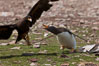 Gentoo penguin defends its dead chick (right), from the striated caracara (left) that has just killed it.  The penguin continued to defend its lifeless chick for hours, in spite of the futulity and inevitabliityof the final result.  Striated caracaras eventually took possession of the dead chick and fed upon it. Steeple Jason Island, Falkland Islands, United Kingdom. Image #24075