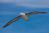 Black-browed albatross in flight, against a blue sky.  Black-browed albatrosses have a wingspan reaching up to 8', weigh up to 10 lbs and can live 70 years.  They roam the open ocean for food and return to remote islands for mating and rearing their chicks. Steeple Jason Island, Falkland Islands, United Kingdom. Image #24076
