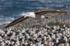 Black-browed albatross in flight, over the enormous colony at Steeple Jason Island in the Falklands. Steeple Jason Island, Falkland Islands, United Kingdom. Image #24081