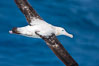 Wandering albatross in flight, over the open sea.  The wandering albatross has the largest wingspan of any living bird, with the wingspan between, up to 12' from wingtip to wingtip.  It can soar on the open ocean for hours at a time, riding the updrafts from individual swells, with a glide ratio of 22 units of distance for every unit of drop.  The wandering albatross can live up to 23 years.  They hunt at night on the open ocean for cephalopods, small fish, and crustaceans. The survival of the species is at risk due to mortality from long-line fishing gear. Southern Ocean. Image #24087