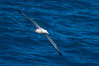 Wandering albatross in flight, over the open sea.  The wandering albatross has the largest wingspan of any living bird, with the wingspan between, up to 12' from wingtip to wingtip.  It can soar on the open ocean for hours at a time, riding the updrafts from individual swells, with a glide ratio of 22 units of distance for every unit of drop.  The wandering albatross can live up to 23 years.  They hunt at night on the open ocean for cephalopods, small fish, and crustaceans. The survival of the species is at risk due to mortality from long-line fishing gear. Southern Ocean. Image #24088