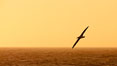 Wandering albatross in flight, over the open sea.  The wandering albatross has the largest wingspan of any living bird, with the wingspan between, up to 12' from wingtip to wingtip.  It can soar on the open ocean for hours at a time, riding the updrafts from individual swells, with a glide ratio of 22 units of distance for every unit of drop.  The wandering albatross can live up to 23 years.  They hunt at night on the open ocean for cephalopods, small fish, and crustaceans. The survival of the species is at risk due to mortality from long-line fishing gear. Southern Ocean. Image #24092