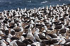 Black-browed albatross colony on Steeple Jason Island in the Falklands.  This is the largest breeding colony of black-browed albatrosses in the world, numbering in the hundreds of thousands of breeding pairs.  The albatrosses lay eggs in September and October, and tend a single chick that will fledge in about 120 days. Steeple Jason Island, Falkland Islands, United Kingdom. Image #24110