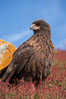 Straited caracara, a bird of prey found throughout the Falkland Islands.  The striated caracara is an opportunistic feeder, often scavenging for carrion but also known to attack weak or injured birds. Steeple Jason Island, United Kingdom. Image #24125