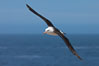 Black-browed albatross, in flight over the ocean.  The wingspan of the black-browed albatross can reach 10', it can weigh up to 10 lbs and live for as many as 70 years. Steeple Jason Island, Falkland Islands, United Kingdom. Image #24144
