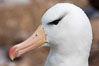 "Black-browed albatross, Steeple Jason Island.  The black-browed albatross is a medium-sized seabird at 31-37"" long with a 79-94"" wingspan and an average weight of 6.4-10 lb. They have a natural lifespan exceeding 70 years. They breed on remote oceanic islands and are circumpolar, ranging throughout the Southern Oceanic. Steeple Jason Island, Falkland Islands, United Kingdom. Image #24151"