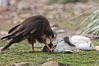 Striated caracara feeds upon a gentoo penguin chick it has just killed. Steeple Jason Island, Falkland Islands, United Kingdom. Image #24280