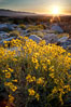 Brittlebush at sunrise, dawn, springtime bloom, Palm Canyon, Anza Borrego Desert State Park. Anza-Borrego Desert State Park, Borrego Springs, California, USA. Image #24301