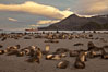 Antarctic fur seal colony, on a sand beach alongside Right Whale Bay, with the mountains of South Georgia Island in the background, sunset. Right Whale Bay, South Georgia Island. Image #24315