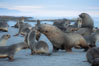 Adult male Antarctic fur seal (bull), chasing down a female in his harem to confirm his dominance, during mating season. Right Whale Bay, South Georgia Island. Image #24334