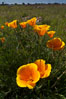 California poppies grow on Santa Rosa Plateau in spring. Santa Rosa Plateau Ecological Reserve, Murrieta, California, USA. Image #24370