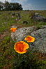 California poppies grow on Santa Rosa Plateau in spring. Santa Rosa Plateau Ecological Reserve, Murrieta, California, USA. Image #24371