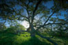 Oak tree at sunrise, Santa Rosa Plateau. Santa Rosa Plateau Ecological Reserve, Murrieta, California, USA. Image #24382