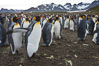 King penguin colony. Over 100,000 pairs of king penguins nest at Salisbury Plain, laying eggs in December and February, then alternating roles between foraging for food and caring for the egg or chick. Salisbury Plain, South Georgia Island. Image #24388