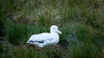 Wandering albatross, on nest and the Prion Island colony.  The wandering albatross has the largest wingspan of any living bird, with the wingspan between, up to 12' from wingtip to wingtip. It can soar on the open ocean for hours at a time, riding the updrafts from individual swells, with a glide ratio of 22 units of distance for every unit of drop. The wandering albatross can live up to 23 years. They hunt at night on the open ocean for cephalopods, small fish, and crustaceans. The survival of the species is at risk due to mortality from long-line fishing gear. Prion Island, South Georgia Island. Image #24394