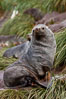 Antarctic fur seal, adult male (bull). Hercules Bay, South Georgia Island. Image #24425