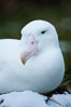Wandering albatross, on nest and the Prion Island colony.  The wandering albatross has the largest wingspan of any living bird, with the wingspan between, up to 12' from wingtip to wingtip. It can soar on the open ocean for hours at a time, riding the updrafts from individual swells, with a glide ratio of 22 units of distance for every unit of drop. The wandering albatross can live up to 23 years. They hunt at night on the open ocean for cephalopods, small fish, and crustaceans. The survival of the species is at risk due to mortality from long-line fishing gear. Prion Island, South Georgia Island. Image #24428