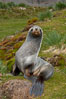 Antarctic fur seal, on grass slopes high above Fortuna Bay. Fortuna Bay, South Georgia Island. Image #24583