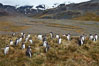 Gentoo penguins, permanent nesting colony in grassy hills about a mile inland from the ocean, near Stromness Bay, South Georgia Island. Stromness Harbour. Image #24586