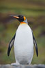 King penguin, solitary, standing. Fortuna Bay, South Georgia Island. Image #24602