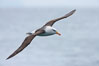 Black-browed albatross, in flight. Scotia Sea, Southern Ocean. Image #24685