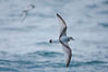 Prion in flight. Scotia Sea, Southern Ocean. Image #24686