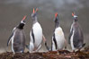 Gentoo penguins, calling, heads raised. Godthul, South Georgia Island. Image #24690