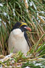Macaroni penguin, amid tall tussock grass, Cooper Bay, South Georgia Island. Image #24694