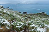 Snow covers tussock grass and macaroni penguins, above Cooper Bay. Cooper Bay, South Georgia Island. Image #24695