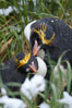 Macaroni penguin, amid tall tussock grass, Cooper Bay, South Georgia Island. Image #24710