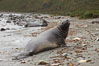Southern elephant seal, juvenile. The southern elephant seal is the largest pinniped, and the largest member of order Carnivora, ever to have existed. It gets its name from the large proboscis (nose) it has when it has grown to adulthood. Godthul, South Georgia Island. Image #24727