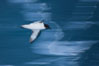 Pintado petrel in flight. Scotia Sea, Southern Ocean. Image #24933