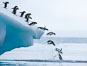 Adelie penguins leaping into the ocean from an iceberg. Brown Bluff, Antarctic Peninsula, Antarctica. Image #25005